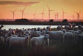 Schafe vor Windpark